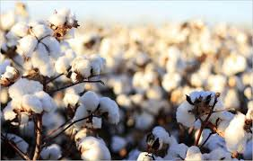 cotton-crops-and-moisture